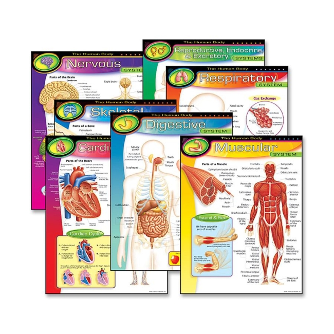 Trend The Human Body Learning Chart 6 / Pack - Quickship.com
